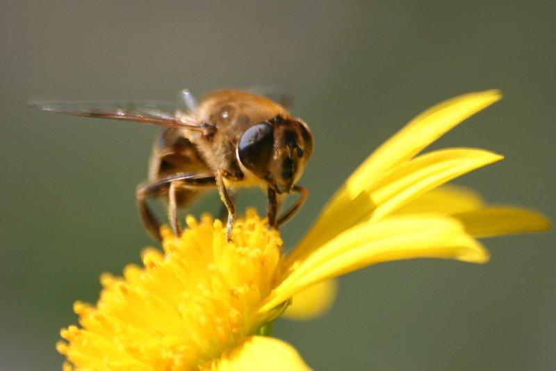 Data et abeilles : Le nombre de ces insectes polénisateurs dans le monde est en déclin, une menace terrible pour toute la biosphère. Mais l'analyse et la...