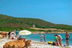 Des vaches sur le plage en Corse